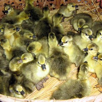 广西鹅苗孵化场有汕头狮头鹅苗批发吗4梧州鹅苗