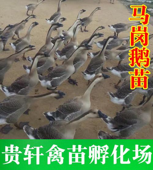 广西鹅苗孵化场批发马岗鹅苗2-广西禽苗批发-北海鹅苗