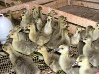 贵州鹅苗孵化场供应马岗鹅苗1广西禽苗批发钦州鹅苗