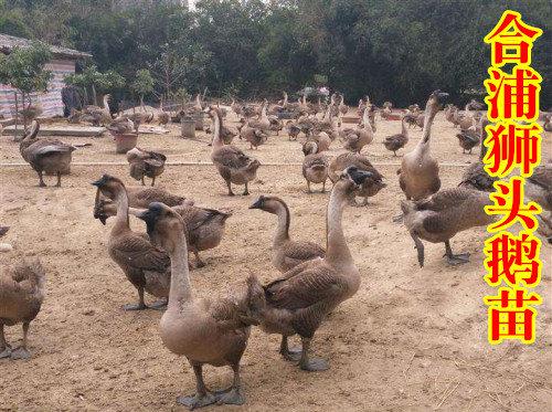 合浦狮头鹅苗2广西禽苗批发河池禽苗广西鹅苗孵化场