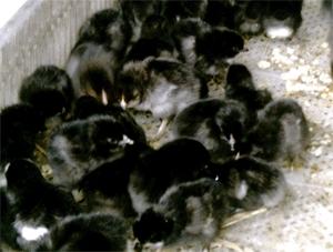 贵州禽苗批发贵州鸡苗孵化场厂大量有五黑一绿鸡苗供应