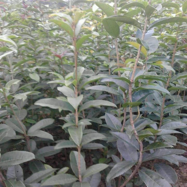 桂花苗种植技术�K广西桂花苗�L桂林桂花苗种植户