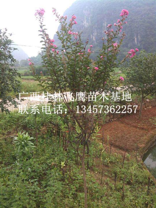 供应红花紫薇树/广西紫薇树/桂林紫薇树种植基地