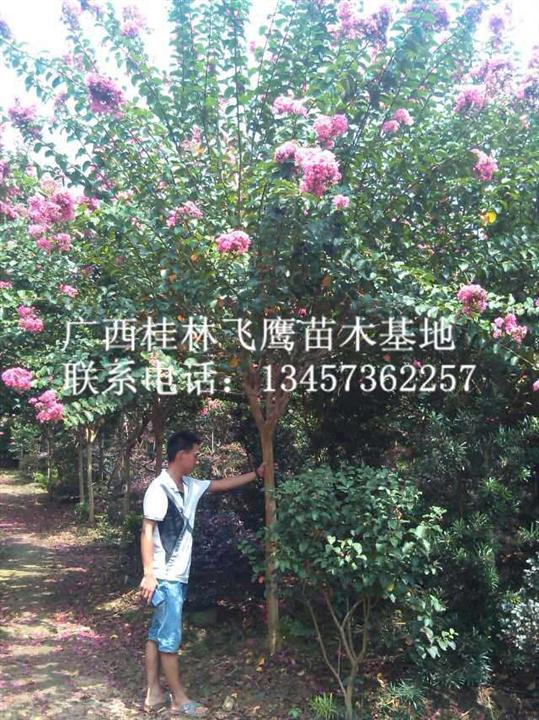 大量供应紫薇树|广西紫薇树|广西哪里有红花紫薇树卖