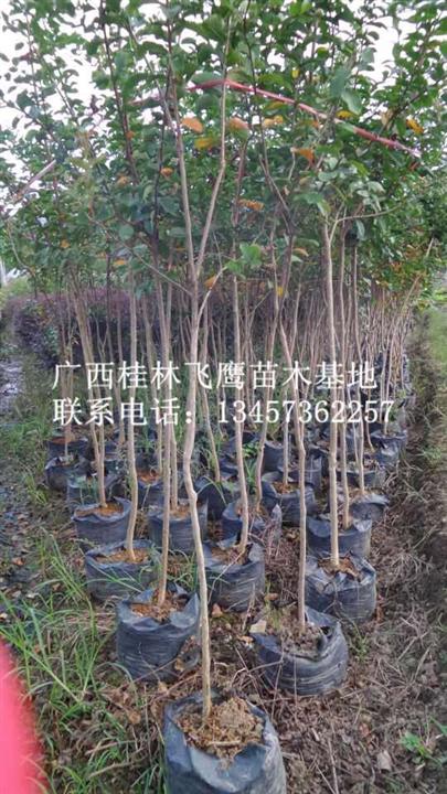 供应紫薇树苗|广西桂林飞鹰苗木基地