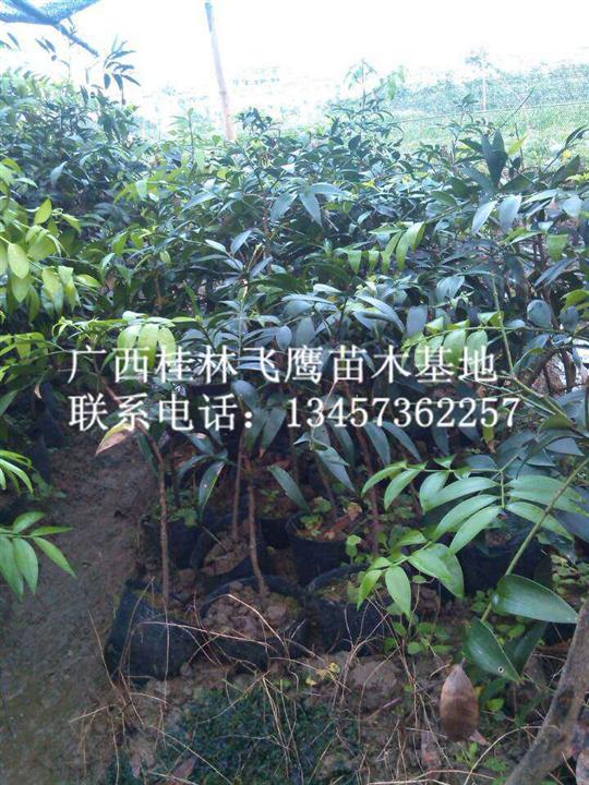 大量供应竹柏/广西竹柏/广西竹柏种苗