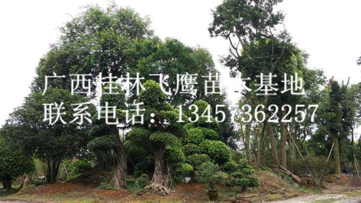 供应造型榕树|桂林造型榕树|桂林哪里有造型榕树