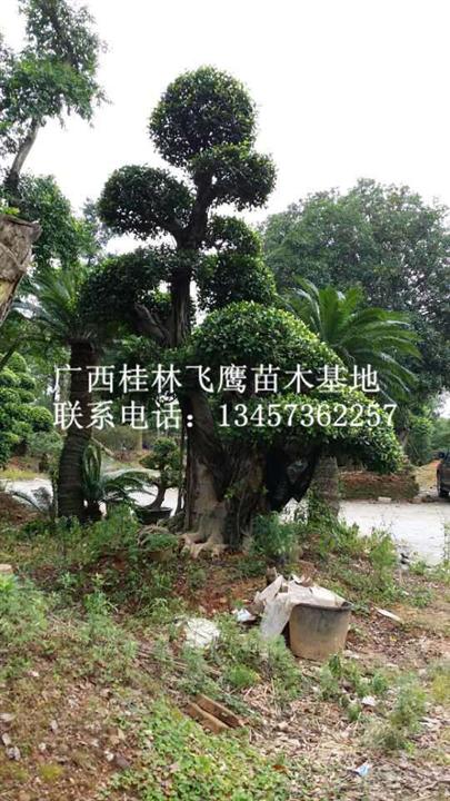 广西造型榕树@最新造型榕树(图)@供应精品造型榕树
