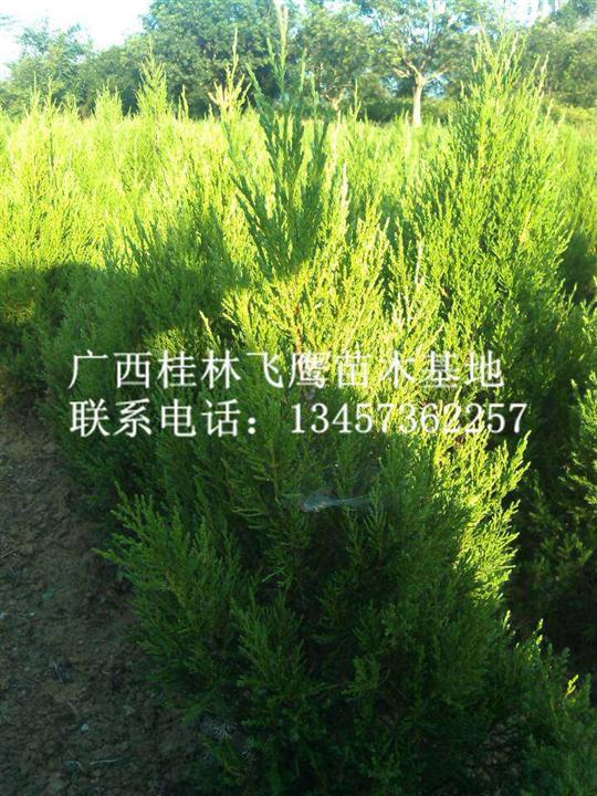 广西塔柏【图】@广西塔柏供应商@广西塔柏种植基地