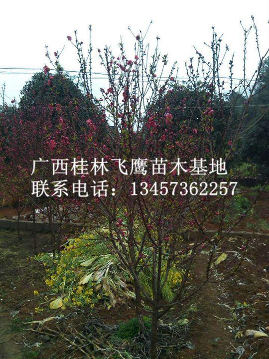 桂林桃树供应|@哪里有桃树苗卖|&广西桃树种植基地