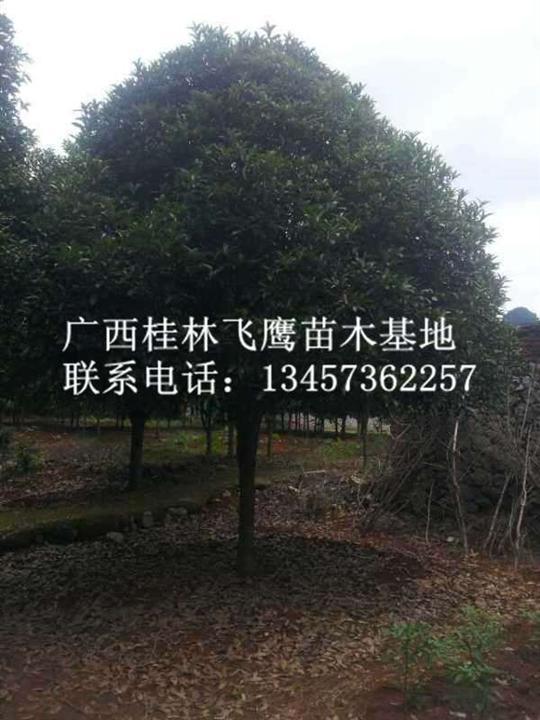 广西桂花树―广西广西桂花树供应―桂林桂花树基地