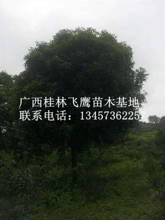 优质桂花树价格\广西桂花树\广西桂花树供应商