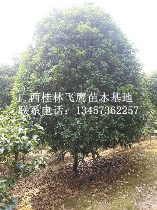 销售精品桂花树,广西桂花树批发,广西供应桂花树