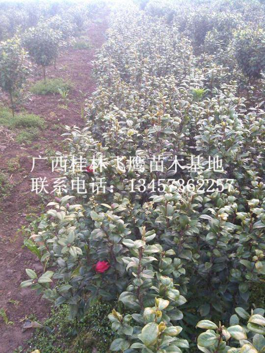 广西茶花苗供应、优质茶花苗批发、桂林茶花苗