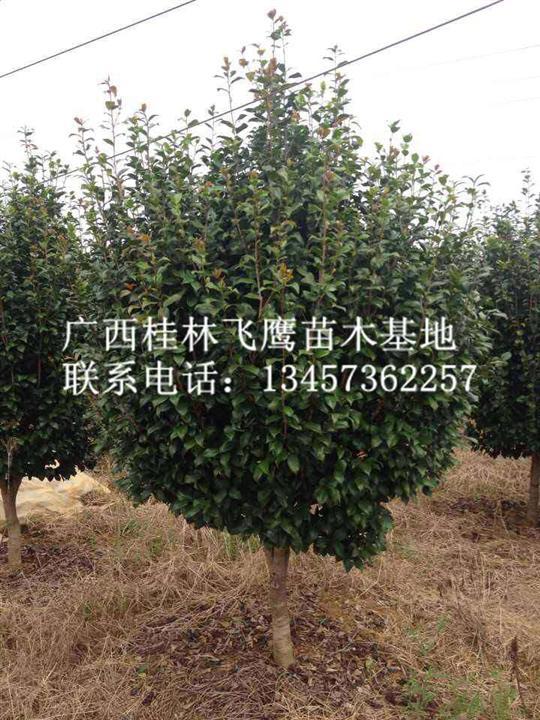桂林批发茶花树|广西茶花树基地|大量出售茶花树