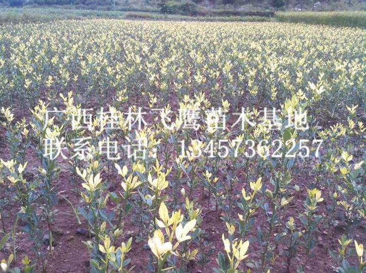 哪里有枳壳苗|桂林枳壳苗批发|桂林枳壳苗供应商