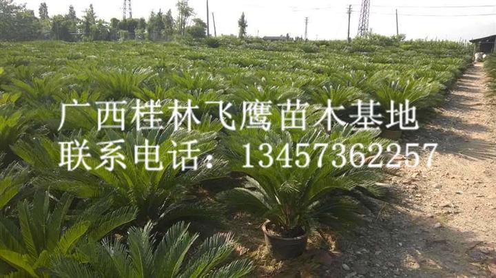 大量供应优质苏铁、广西苏铁种植、广西阳朔苏铁种植基地