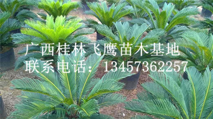 供应桂林苏铁-哪里有苏铁卖/广西苏铁最新价格咨询