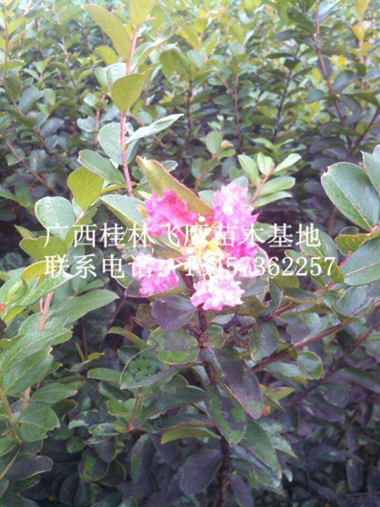 哪里有种植木棉花|广西木棉花树|桂林木棉花树哪里有
