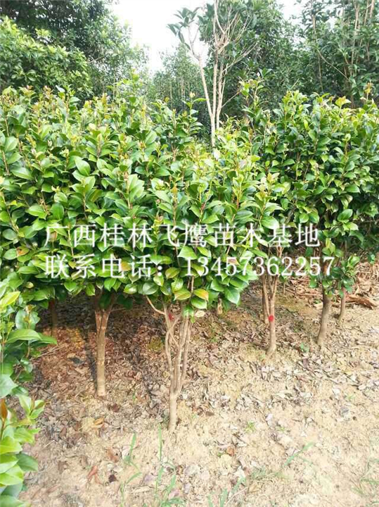 广西茶花|桂林茶花出售|大量供应茶花树