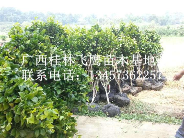 大量山茶花上市@广西茶花批发@广西桂林茶花供应商