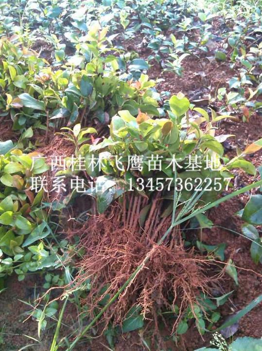 供应茶花苗/广西茶花苗价格/广西茶花苗供应基地