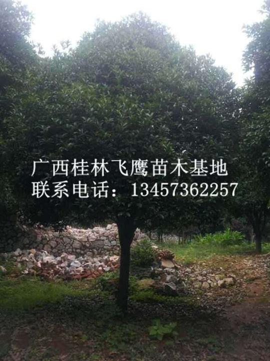 广西桂花树@广西桂花树桂花树@广西桂花树咨询热线