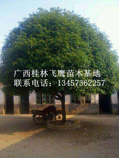大量供应桂花树|广西桂花树价格|广西桂花树基地