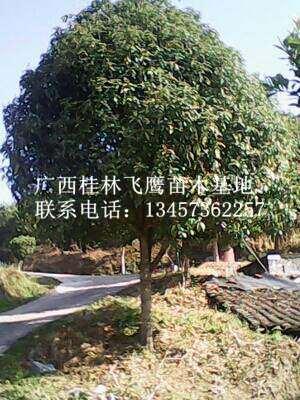 最新桂花树价格|桂林桂花树供应|桂林桂花树苗基地