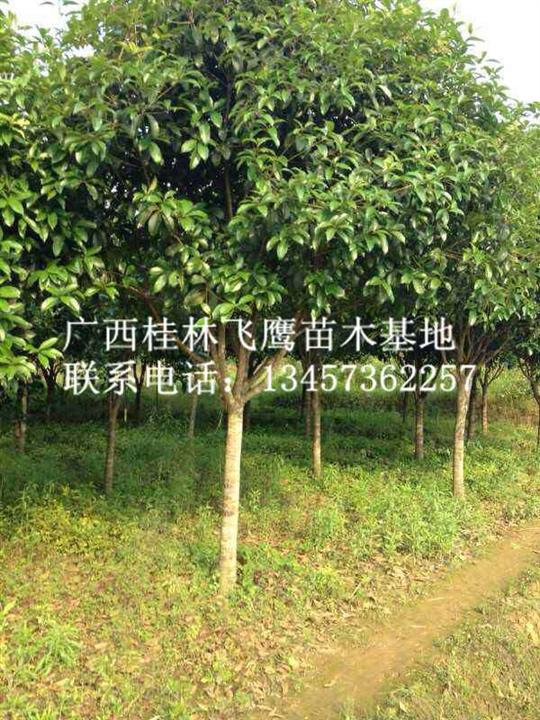 哪里有桂花树卖?桂林桂花树基地@桂林桂花树供应商