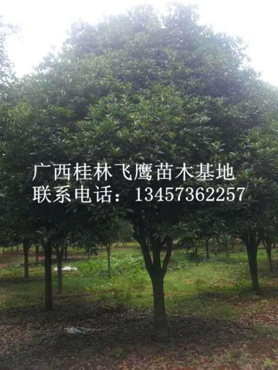 桂林桂花树-供应桂林桂花-最新桂林桂花树价格