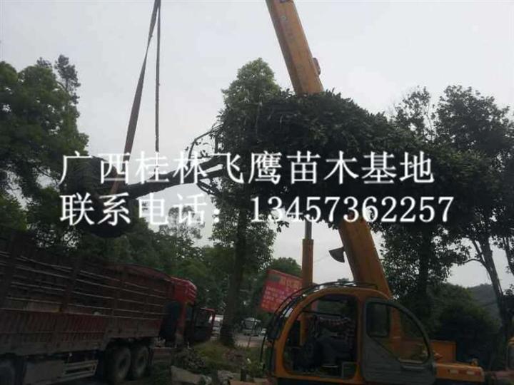广西桂林桂花树发货中