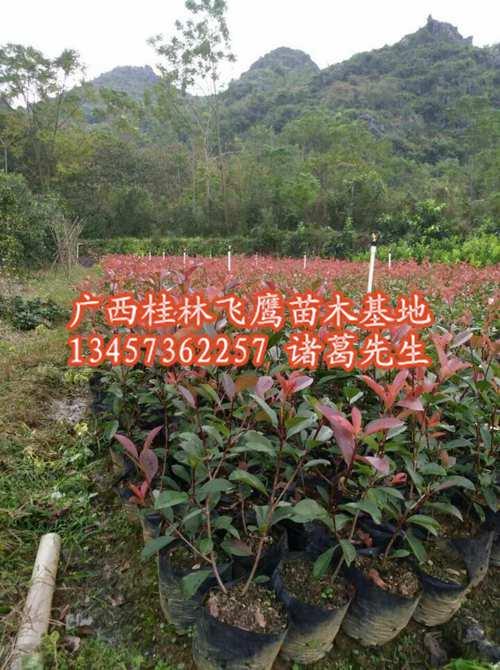 广西红叶石楠|广西红叶石楠袋苗批发