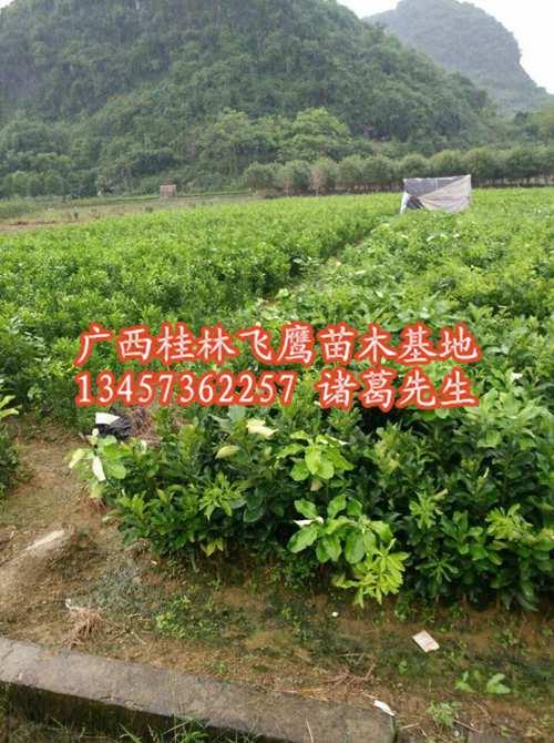柚子苗/广西柚子苗出售/桂林柚子苗货源