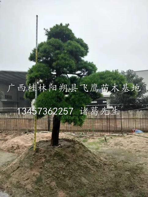 桂林造型罗汉松