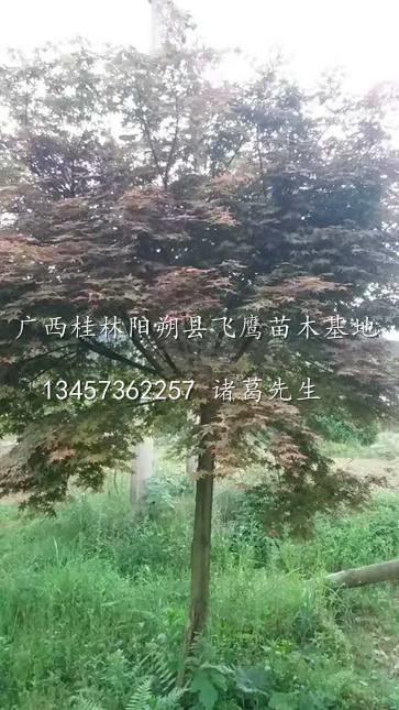 广西桂林红枫树/大量供应红枫树/桂林红枫种植基地