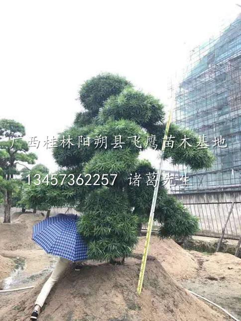桂林造型罗汉松/出售造型罗汉松/桂林造型罗汉松基地