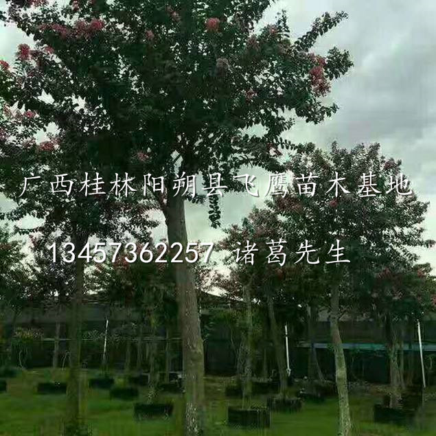 桂林紫薇树/紫薇树2017价格/广西桂林紫薇树种植基地