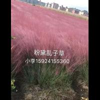 粉黛乱子草|浙江观赏草