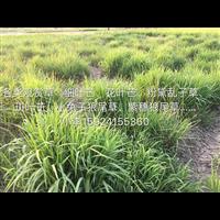 浙江观赏草类