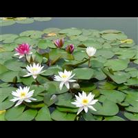 浙江睡莲苗|浙江浮水植物