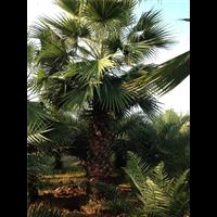 漳州華盛頓棕-苗木福建供應