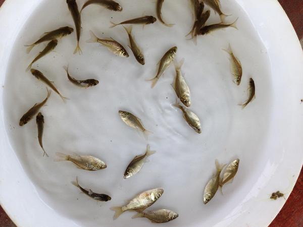 贵州哪里有卖鱼苗?湖南哪里有卖鱼苗?