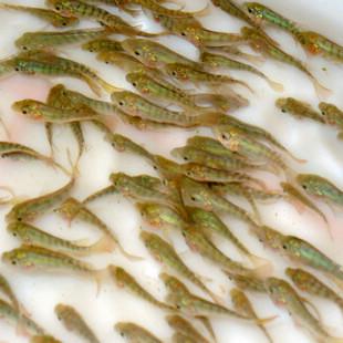 云南哪里有卖鱼苗?广东哪里有卖鱼苗?