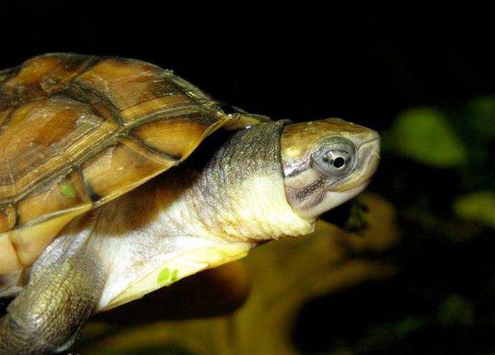 广西石龟&龟鳖养殖场&欢迎来场交流