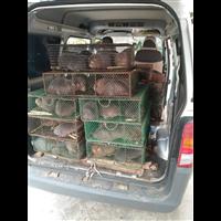 福建竹鼠种苗价格