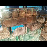 广西竹鼠种苗价格