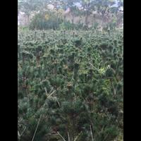 五针松小规格树苗