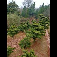 造型五针松树苗