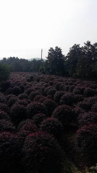 �B�d�t花季木1